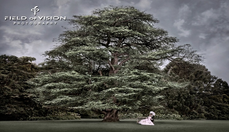 One of my favorite trees in Melbourne! In Werribee Mansion grounds....