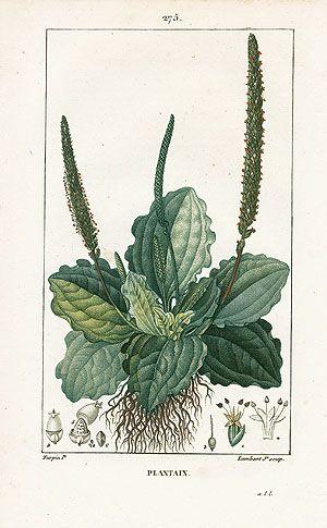 Turpin Botanical Prints 1815