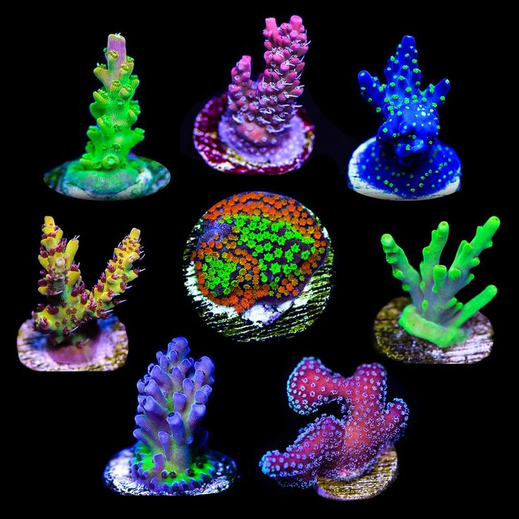"You will receive one 3/4"" - 1""+ live coral frag of each of the following SPS corals: CB Pink Tip Acropora, WWC Snowdrop Acropora, WWC Blueberry Fields Acropora, WWC Yoda Acropora, Tyree Rainbow Stylophora, WWC Madman Austera Acropora, Tyree Pink Lemonade Acropora, and the Rainbow Montipora. These SPS corals were hand selected from our collection for their ease of care and vibrant colors.<br><br> <b>We have never done a SPS pack this size for a price this low ..."