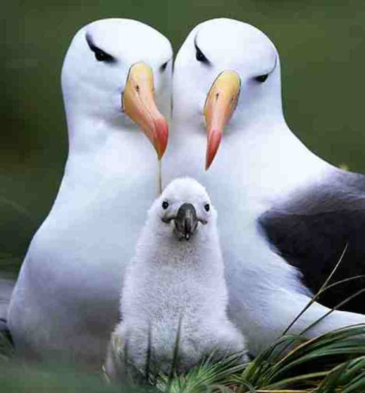 Albatross pairs Mate for life! Onwards of 50 years! | Save ...