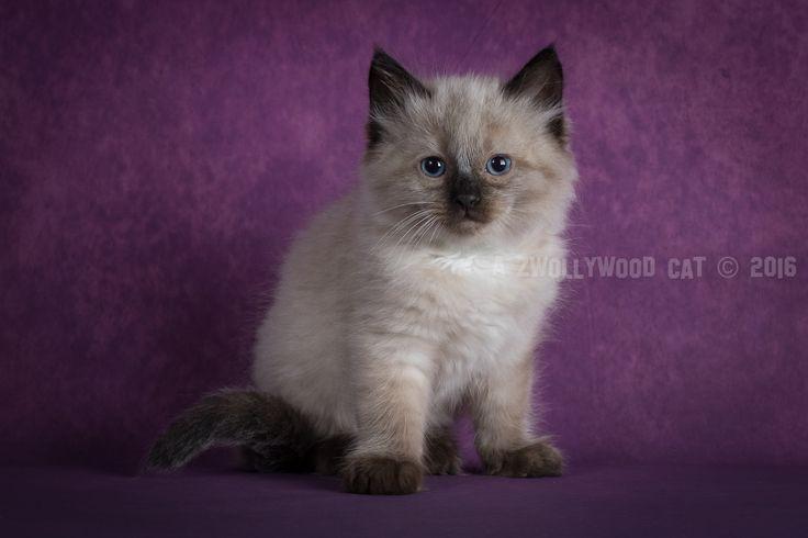 2016: Dino A Zwollywood Cat. 8 Weeks old Ragdoll kitten, seal colourpoint. Flintstones litter.