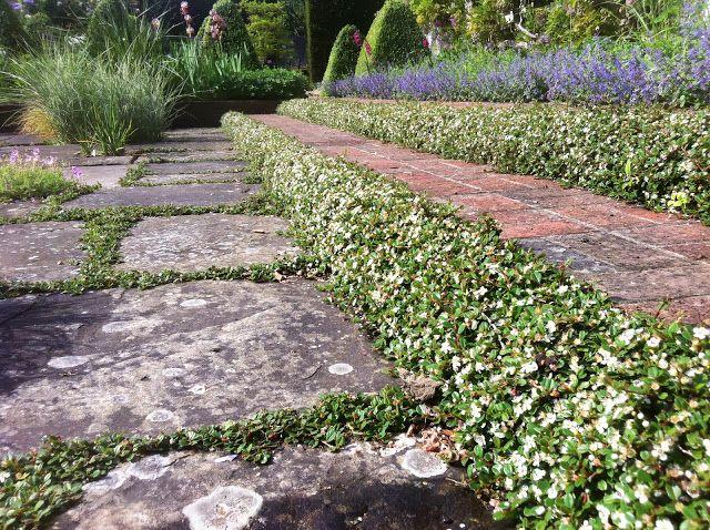 Cotoneaster procumbens queen of carpets provides a step - Cotoneaster procumbens queen of carpets ...