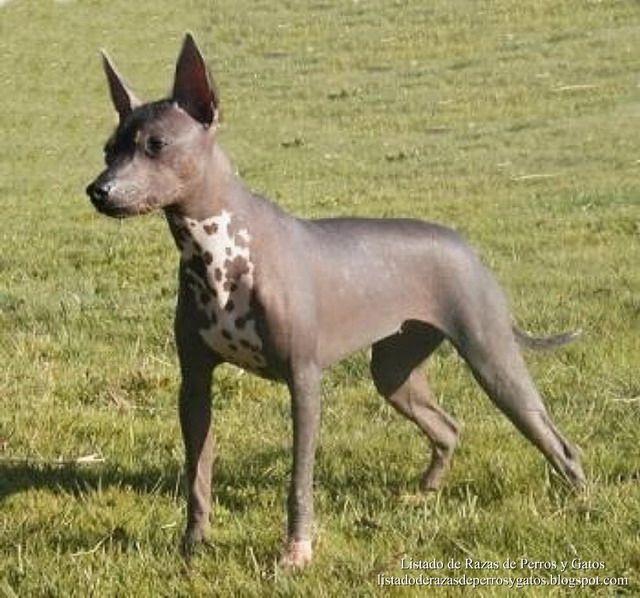Listado de Razas de Perros y Gatos. Todos los tipos...: Raza de Perro Xoloitzcuintle (Perro Azteca)