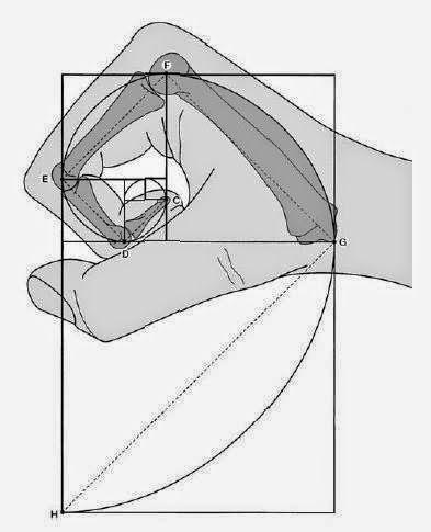 Wenn wir unsere Finger betrachten, sehen wir Abschnitte. Die beiden ersten Abschnitte zum ganzen Finger  sind im Goldenen Schnitt. Eine Ausnahme ist der Daumen. Auch das Größenverhältnis von Mittelfinger zu kleinem Finger ist im Goldenen Schnitt.