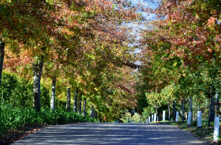 Autumn coloured tree lined avenue between Bilton Wine Estate and Rust & Vrede Wine Estate on the Annandale Road - Lynedoch -  Stellenbosch - Western Cape  - South Africa. http://www.biltonwines.com/TastingRoom.aspx  - Telephone:  +27 21 881 3072 #Bilton #RustenVrede #wineestate