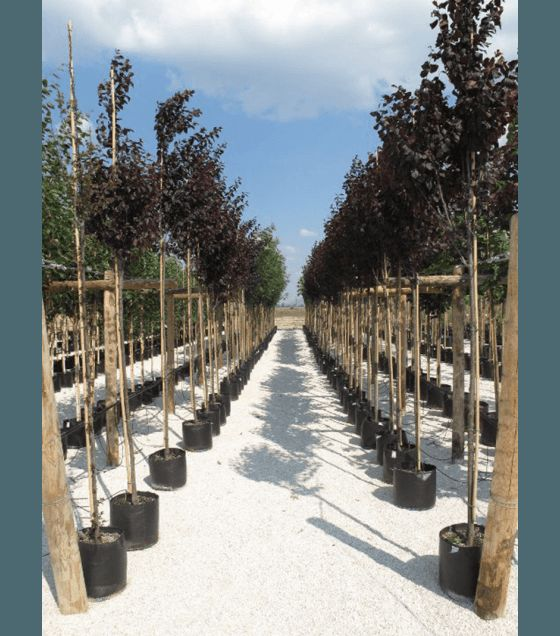 Червенолистна слива -  Prunus cerasifera ' Nigra'