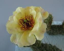 Google Image Result for http://www.magpiestudioarts.com/wp-content/gallery/plant-models-new/prickly_pear_detail_web.jpg