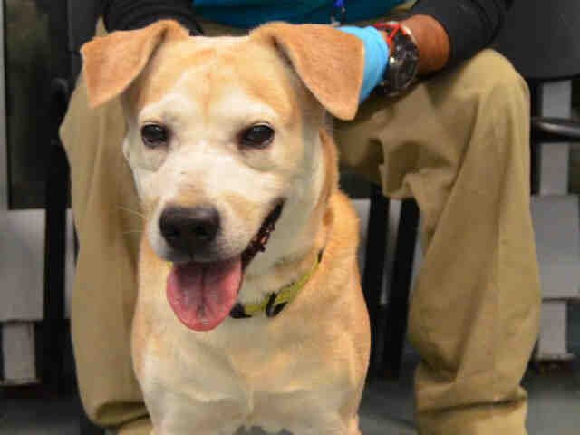 11/20/16 JAIME_a1097288 Intact M, BR, LAB MIX, 8 yrs STRAY – STRAY WAIT, NO HOLD Reason STRAY Intake cond UNSPEC Intake 11/18/16, From NY 11208, DueOut 11/21/16, Med Behav Eval BLUE Scanned neg BARH- tolerated most handling; tense during exam Eyes- slighty cloudy Ears & nose- clear Teeth- mod stain & tartar No parasites or fleas seen Ambx4 NOSF Wt 41.0