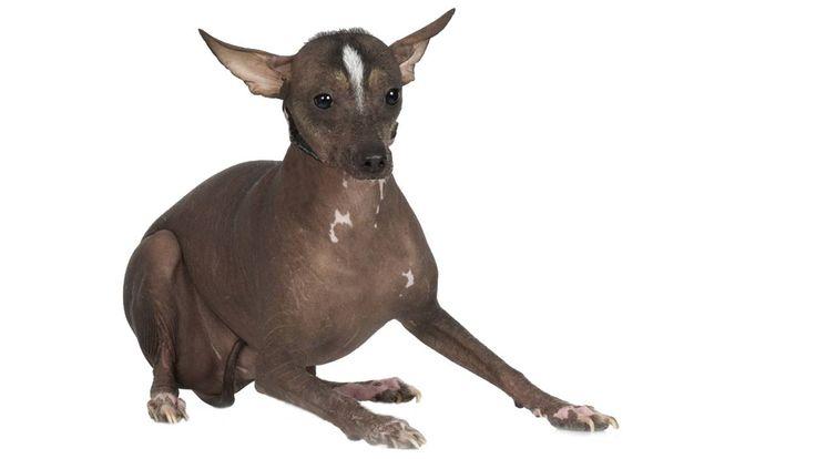 Les chiens fers (chiens nus en Martinique) ont des dents mal formées et souvent en plus petit nombre que la normale (42 à l'âge adulte). En effet l'absence de poils est due à une mutation qui touche l'ectoderme.L'ectoderme est le feuillet externe de cellules qui constitue une partie de l'embryon. Or l'ectoderme est aussi à l'origine de l'émail des dents. Cette origine embryologique commune explique l'atteinte de la peau et en même temps que des dents chez le chien fer.