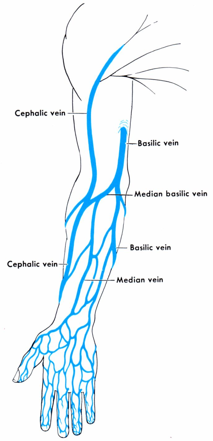 Names Of Veins In The Arm Anatomy And Physiology Get Schooled