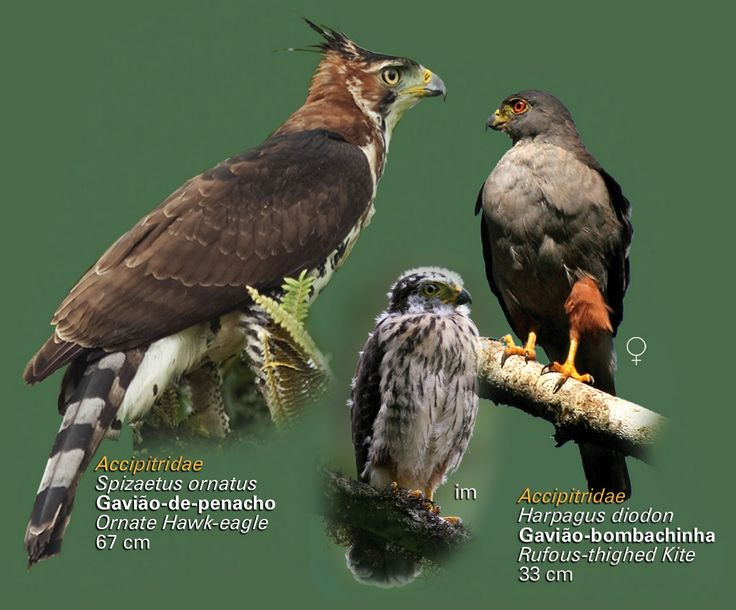 Guia: as aves da Mata Atlântica | ((o))eco