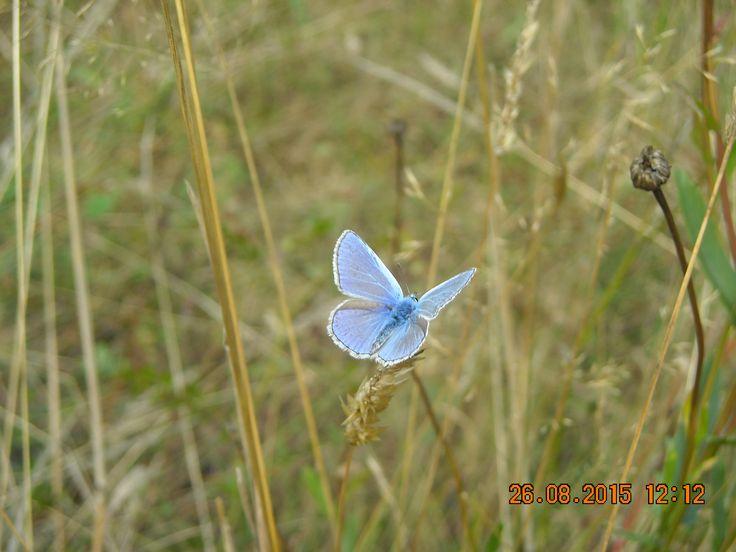 blue butterfly, Romania