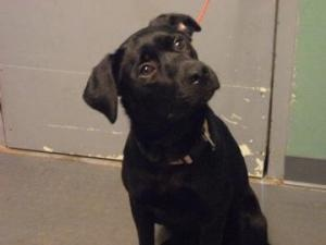 Louise is an adoptable Labrador Retriever Dog in Ashtabula, OH. Hello, I'm Louise! I'm a friendly girl with a lot of energy! I love to have my belly rubbed! I'd make a great exercise partner....I hope...: Labrador Retriever Dogs, Adoption Labrador