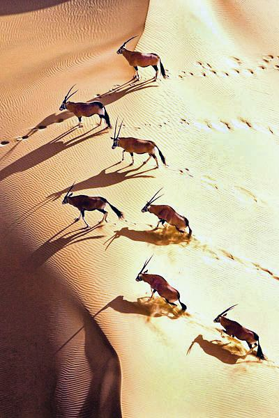 Il Sud del Botswana si presenta arido e sabbioso. Siamo nel deserto Kalahari, mentre un branco di orici attraversa le dune in cerca di acqua. Uno spettacolo della #natura. Esperienza da #NomadiModerni