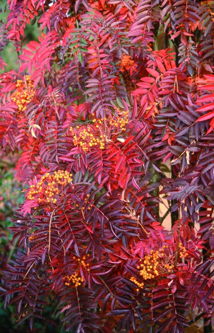 Sorbus Autumn Fire, red leaves, yellow berries - lovely