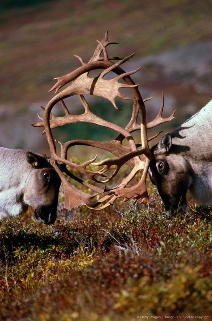Caribou (Alces alces) locking antlers, Denali NP, Alaska, USA