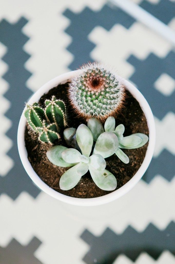 Plantie perfection • I want to get some little baby cacti      that grow flowers and some cute little blue and purple succulents. Need to plant them in my room <334