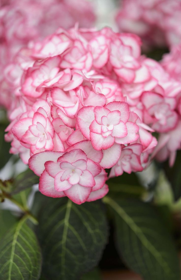 Best 300 Hydrangeas Images On Pinterest Hydrangeas Gardening And