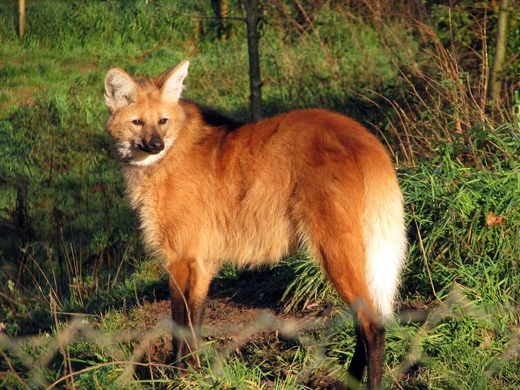A Lot Of Maned Wolf By Loputyn Deviantart Com On: 1000+ Ideas About Maned Wolf On Pinterest