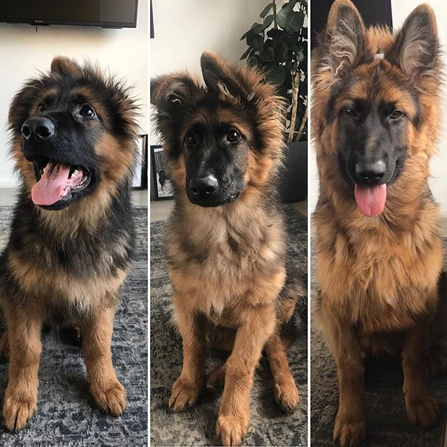 The Three Stages Of Growing Ears 4 Months No Ears 5 Months