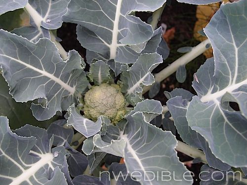 How and When To Harvest Broccoli and Cauliflower (17)
