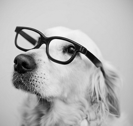The glasses make this Golden look even smarter.: Smarty Pants, Old Dogs, Hipster Dogs, Pet, Cars Girls, Hipster Glasses, Girls Style, Animal, Golden Retriever