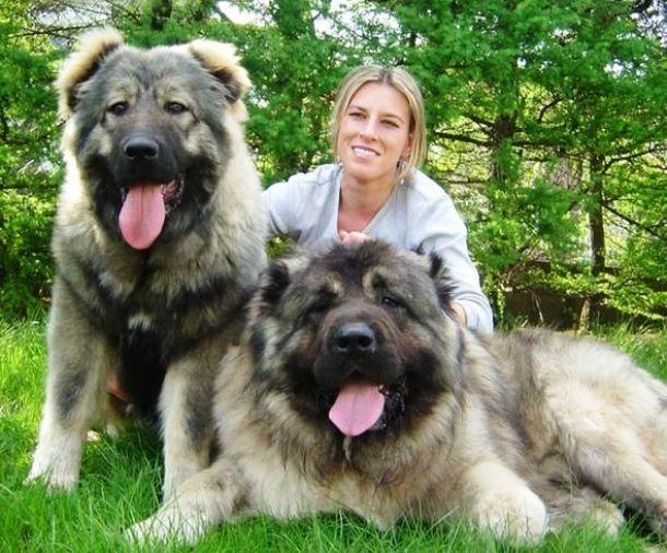 Heavy Weight Caucasian shepherd dog http://ift.tt/2noBI7m