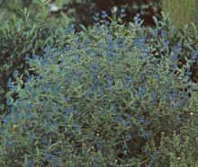 Καρυοπτέρη Caryopteris x clandonensis  Θάμνος φυλλοβόλος, ύψους 1,5μ. με γκριζοπράσινα αρωματικά φύλλα. Ανθίζει πλούσια τον Αύγουστο-Σεπτέμβριο με άνθη γαλάζια ή μοβ. Φυτό πολύ ανθεκτικό,