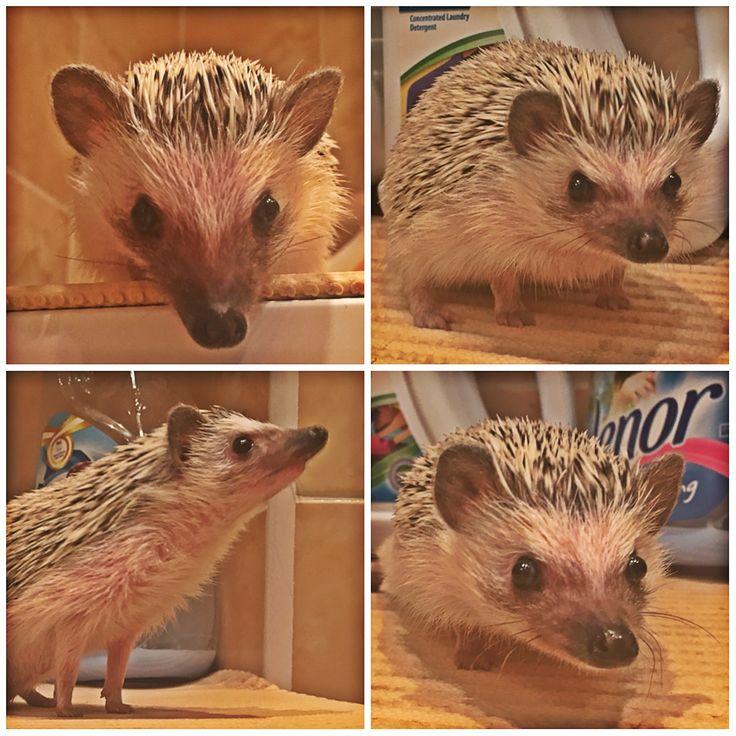 Náš všetečka zvědavej :) Hedgehog, ježek :)
