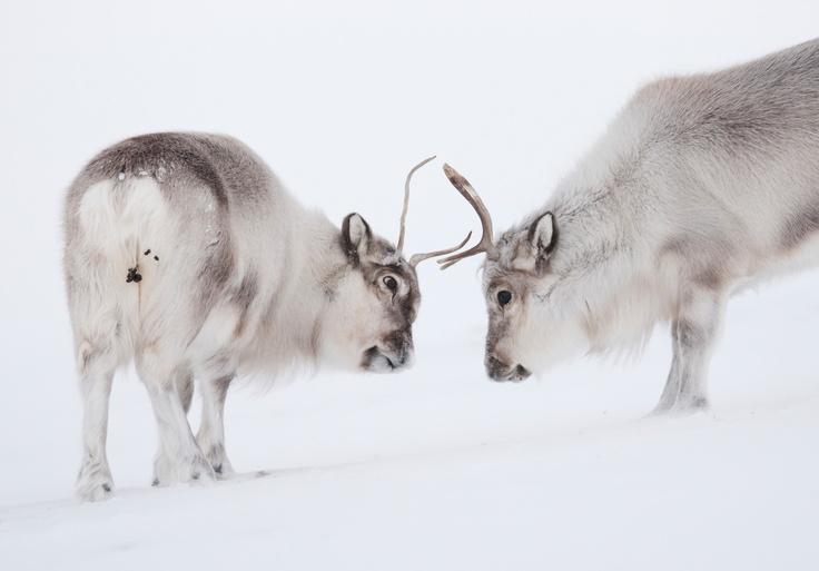 Svalbard Reindeer - An Arctic Adventure in Spitzbergen by Ole Jørgen Liodden