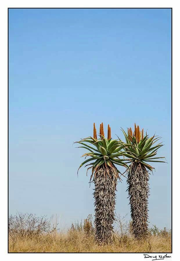 Aloe plants.... oh my word these are such iconic shapes that make you realise that you are now in the high veld of South Africa.... beauty