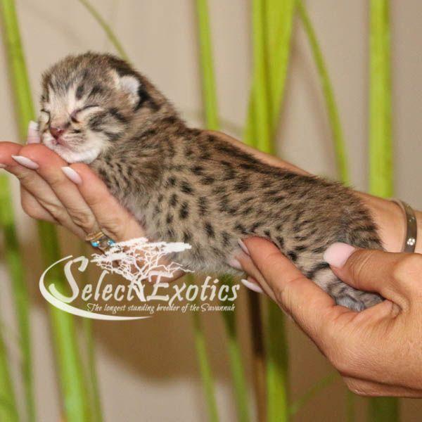 F2 Savannah Cat For Sale Jan1 Savannah Kitten F2 Savannah Cat Savannah Kittens For Sale