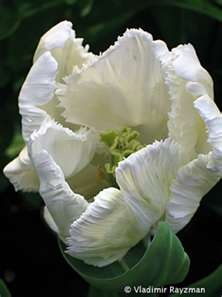White french tulips