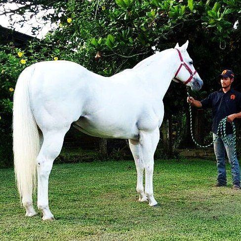 NATIVE JEWEL DH (Pluma Blanca) es hijo de Streakin La Jolla  Royal Classic Native por A Classic Dash | Semental Premium Cuarto de Milla #stallionmexsearch . En servicio en Cuadra Armadillo en Tuxtepec Oaxaca. Para mayor información visite: http://ift.tt/1Sa2UOT #semental #cuartodemilla #caballo #horseracing #stallion #hipodromodelasamericas #caballodecarreras #carrerasdecaballos#horsesofinstagram #caballosfinos #horse #riding #quarterhorse #aqha #horselife #cavalo #horserancing #nofilter…