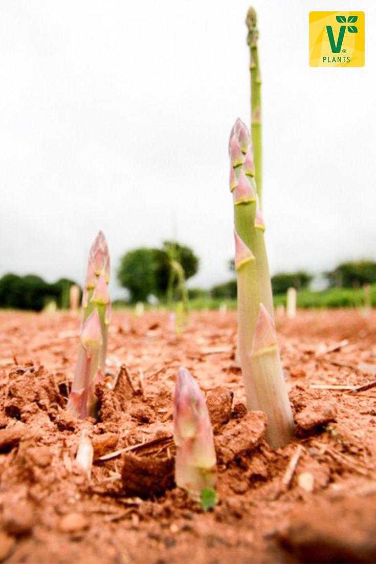 die besten 25 spargel pflanzen ideen auf pinterest abendessen im freien asparagus fern und. Black Bedroom Furniture Sets. Home Design Ideas
