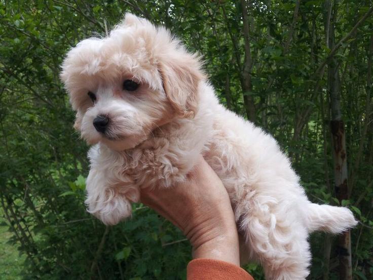 Maltipoo. haha i love this kind of dog<3 #want #getting