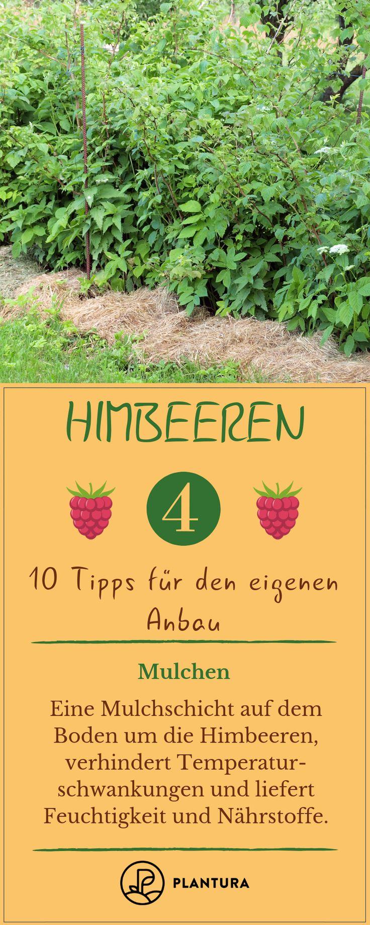 10 Tipps für leckere Himbeeren aus eigenem Anbau
