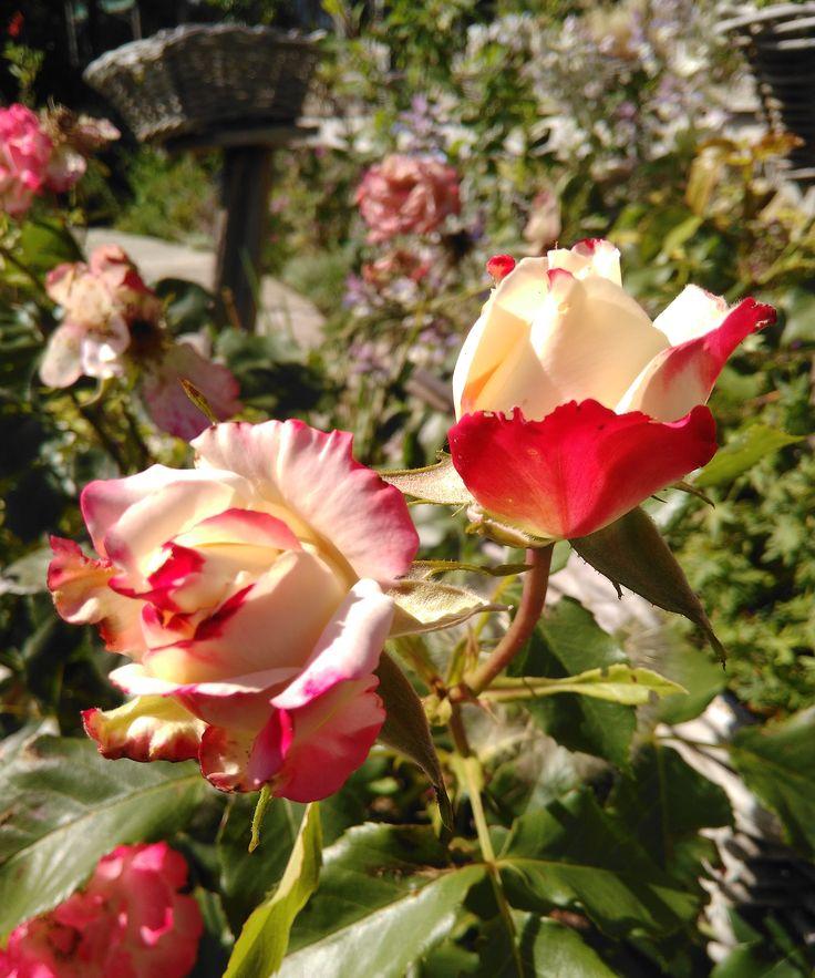 """La pépinière """"les jardins des hurlevents"""" produit et présente toutes une palette de plantes vivaces-""""Les Jardins des Hurlevents """" http://www.plantes-vivaces-hurlevents.com/"""