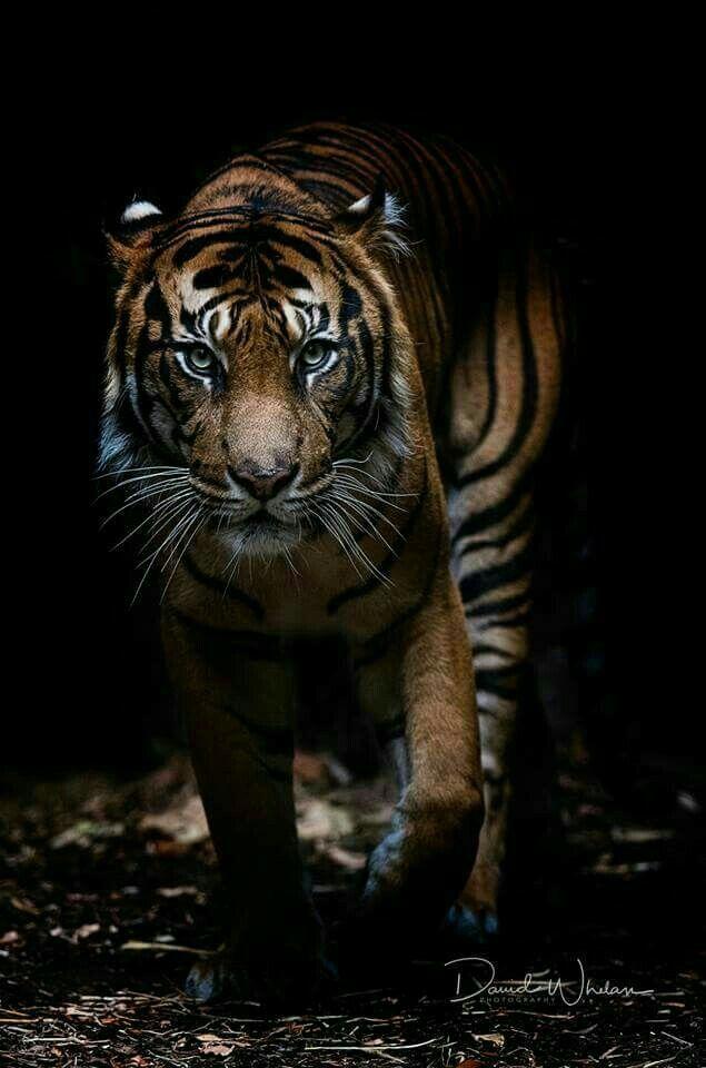 Tiger Wallpapers Animals Big Cats Art Animals Wild
