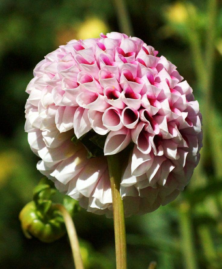 Dahlia ( Dahlia pinnata) is a stunning daisy like flower