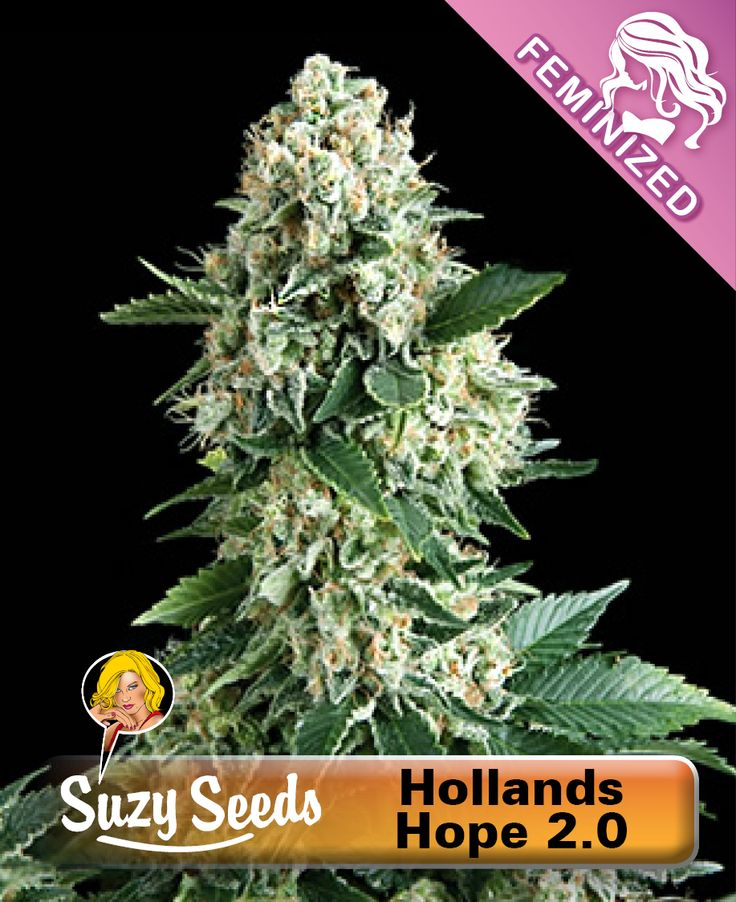 Hollands Hope 2.0 is a cross between Afghan and Dutch Skunk, which has fully adapted to the wet and cold Dutch climate. Hollands Hope 2.0 owes its name to the fact that it can even fully flower and produce excellent results in a wet and changeable summer, thereby giving hope to Dutch outdoor growers. Hollands Hope is a strong and reliable mould resistant plant, 80% Indica and 20% Sativa.