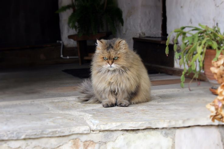 Cat at Evangelistria's Monastery in Ano Pedina village
