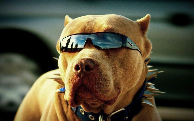 Pitbull Dog Wallpaper Best #2060 Wallpaper