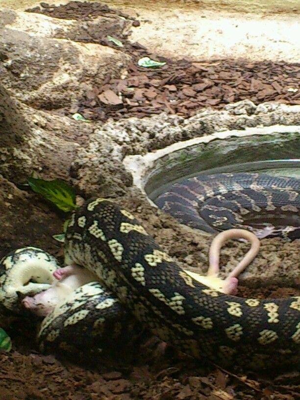 Serpiente alimentándose (pobre ratón)...