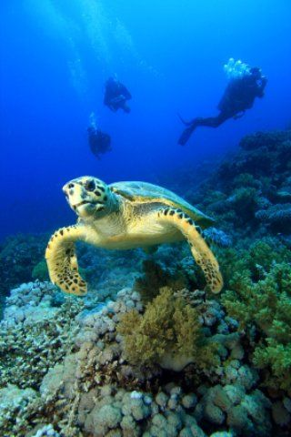 Boynton Beach Florida says they make life fun and we agree. Take a dive off a tour boat and see our fabulous sea creatures like this hawksbill turtle.