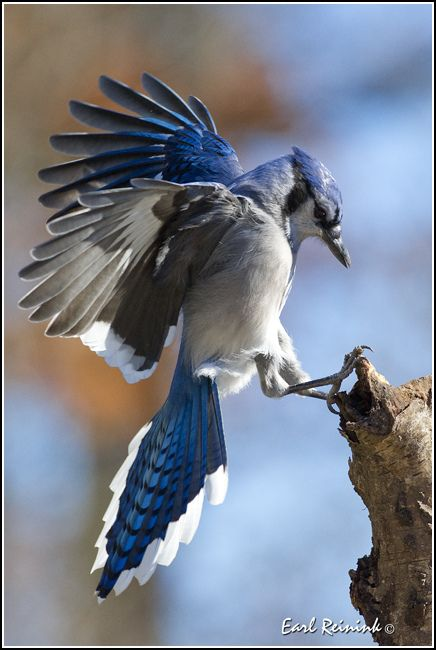 Blue Jay…….BELIEVE IT OR NOT - THERE'S A TOWN IN NORTHERN CALIFORNIA NAMED AFTER THIS BIRD ………ccp