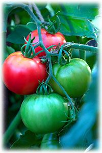 Tips on growing tomatoes in pots  http://www.vegetable-garden-guide.com/how-to-grow-tomatoes.html