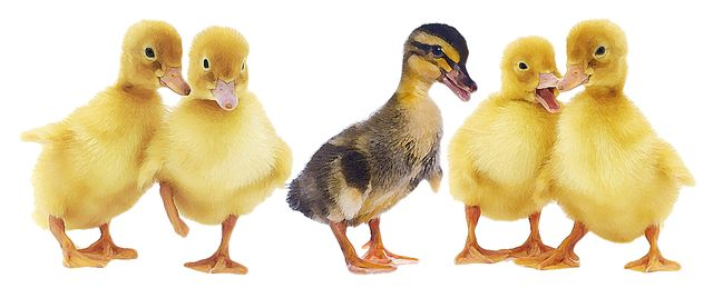 Image result for ducklings clipart