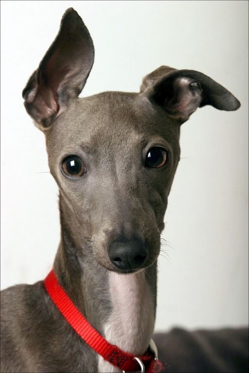Italian greyhounds are my long lost brothers. They enjoy watching films, running, falling asleep on the couch, and cuddling.