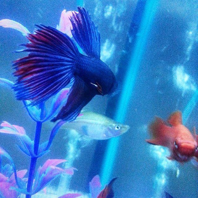 66 best images about amazingaquatics on pinterest cats for Petsmart betta fish tanks